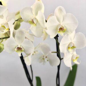 Double White Phalaenopsis Plant