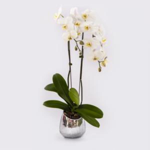 Double White Phalaenopsis Plant (silver)