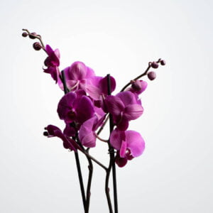 Double Purple Phalaenopsis with Echeveria