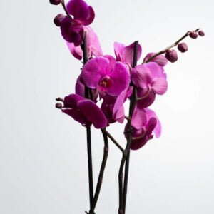 Double Purple Phalaenopsis Plant