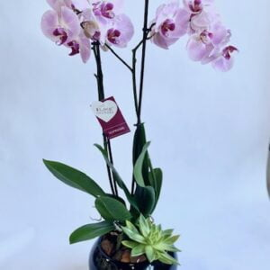 Double Pink Phalaenopsis with Echeveria