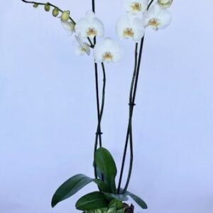 Double White Phalaenopsis with Echeveria