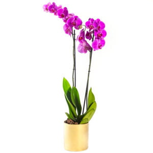 Double Purple Phalaenopsis Plant