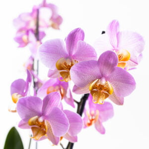 Double Pink Phalaenopsis Plant