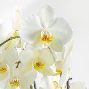 Double White Phalaenopsis with Echeveria